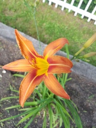 Elvira Ditch Lily in bloom in my garden