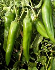 NuMex Sandia Select Green Chili photo via Sandia Seed Company